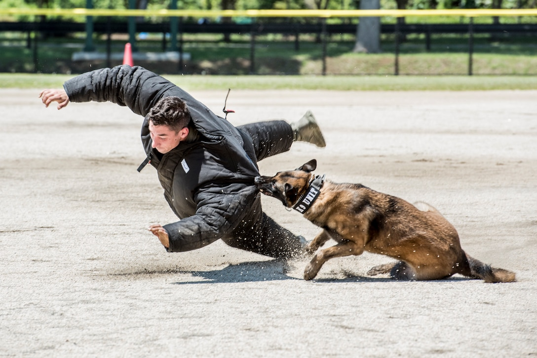 Gina, a military working dog assigned to the 51st Security Forces Squadron, takes down a decoy during Yokota's 2019 National Police Week Hard Dog Fast Dog competition, May 24, 2019, at Yokota Air Base, Japan.