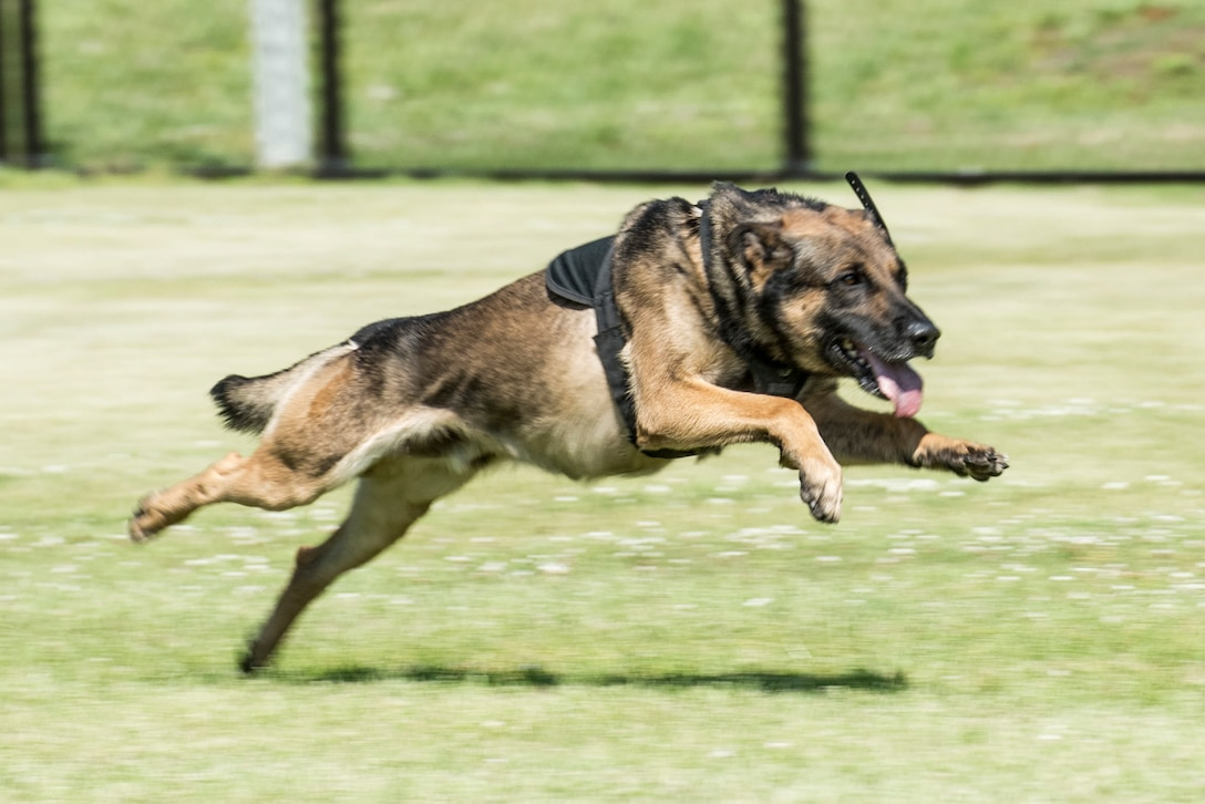 Bill, a military working dog assigned to the 901st Military Police Detachment, chases a suspect during Yokota's 2019 National Police Week Top Dog competition, May 24, 2019, at Yokota Air Base, Japan.
