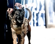 An 87th Security Forces military working dog enters the McGuire Chapel on Joint Base McGuire-Dix-Lakehurst, New Jersey, during a memorial ceremony Nov. 1, 2019. The ceremony honored the memory of military working dogs Robby and Bagira, who both served the U.S. as patrol explosive detector dogs.