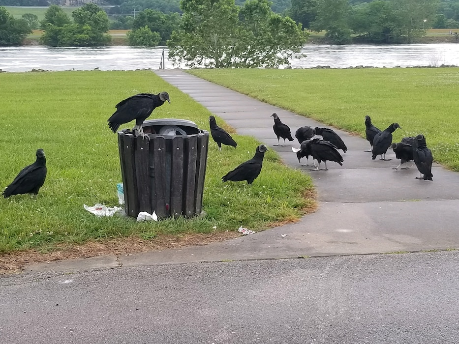 Black Vultures raiding a trash can, with an improperly secured lid, downstream of Truman Dam. Please secure trash can/dumpster lids and properly dispose of all trash and fish cleaning remains.