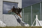 A military working dog with Headquarters and Headquarters Squadron jumps through an obstacle at Marine Corps Air Station Iwakuni, Japan, Oct. 19, 2018. DLA Troop Support Subsistence supply chain added 27 items to their menu catalogs to ensure military working dogs have adequate nutrition to provide support to the warfighter. (U.S. Marine Corps photo by Lance Cpl. Seth Rosenberg)