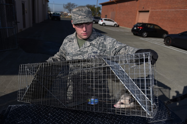 U.S. Air Force Senior Airman David De Alva, 60th Civil Engineer Squadron pest management technician, places an opossum into the bed of his truck Nov. 8, 2019, at Travis Air Force Base, California. Pest management released the opossum several miles away from the base. (U.S. Air Force photo by Airman 1st Class Cameron Otte)