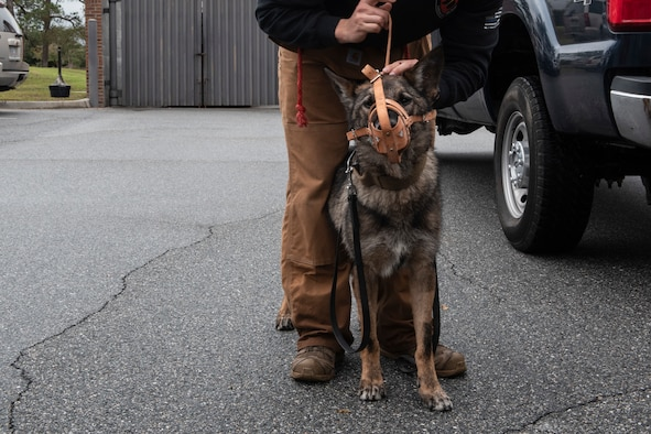 A photo of a military working dog handler putting a muzzle on a military working dog.