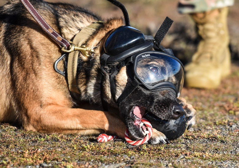 Military Working Dog Rosso, 92nd Security Forces Squadron MWD, chews on a toy before boarding a 36th Rescue Squadron UH-1N Huey Nov. 21, 2019, at Fairchild Air Force Base, Washington.
