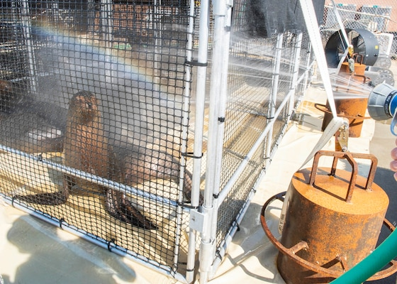 A Navy sea lion in temporary quarters at Naval Surface Warfare Center Panama City Division. Navy personnel ensured the safety, comfort, and care of the sea lions by regulating their body temperatures and monitoring their vitals throughout their stay.