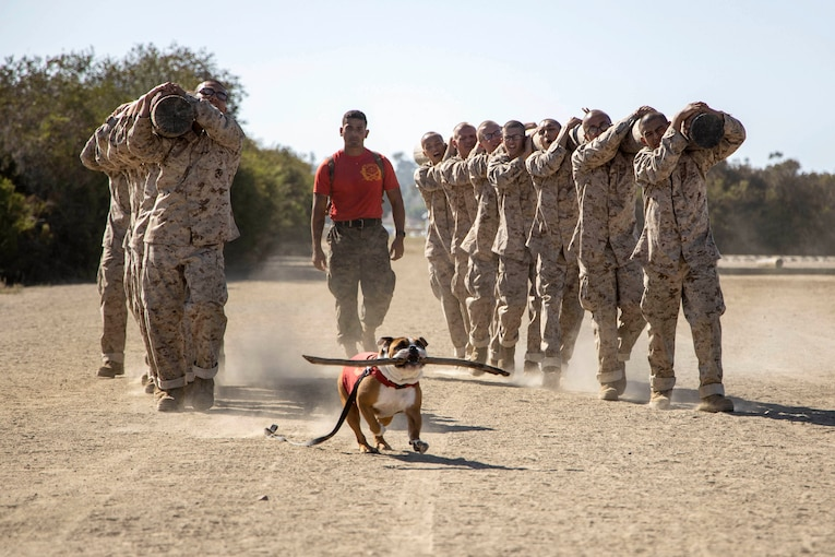 An English bulldog holds a big stick in his mouth while walking in front of two lines of Marines carrying logs on their shoulders.