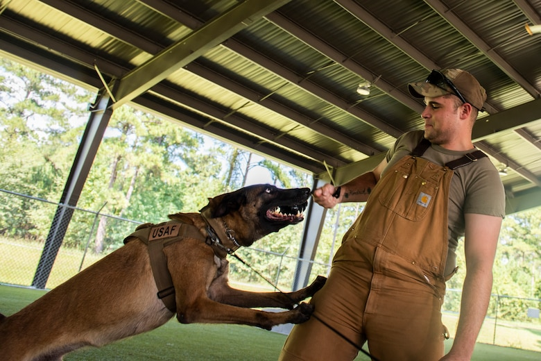 Senior Airman Steven Goff, 23d Security Forces Squadron military working dog (MWD) handler, pulls a dog toy away from MWD Ttoby, after a training demonstration, Aug. 29, 2019, at Moody Air Force Base, Ga. Goff recently became a part of the K-9 unit and is currently in the process of completing his validation training. (U.S. Air Force photo by Airman Elijah M. Dority)