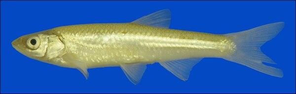 Sharpnose shiner (Notropis oxyrhynchus)