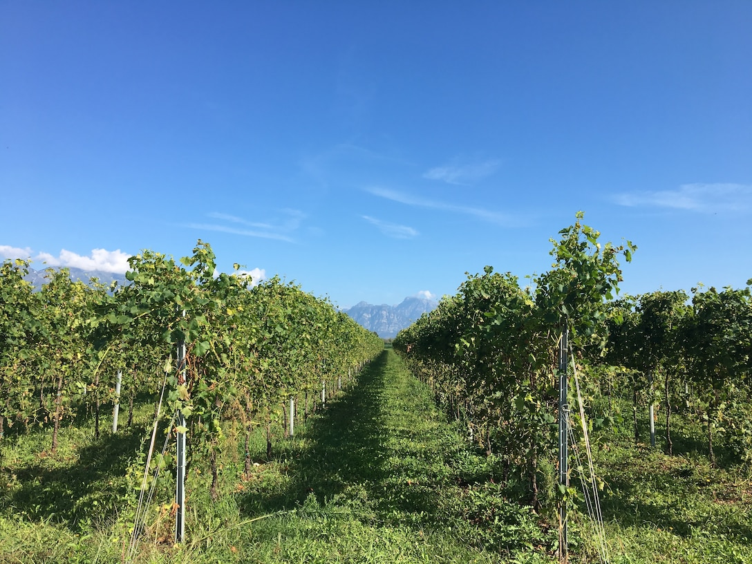 A grape vineyard grows near Aviano Air Base, Italy, Sept. 9, 2018. Italy is known for their exquisite wine. (U.S. Air Force photo by Staff Sgt. Heidi Goodsell)