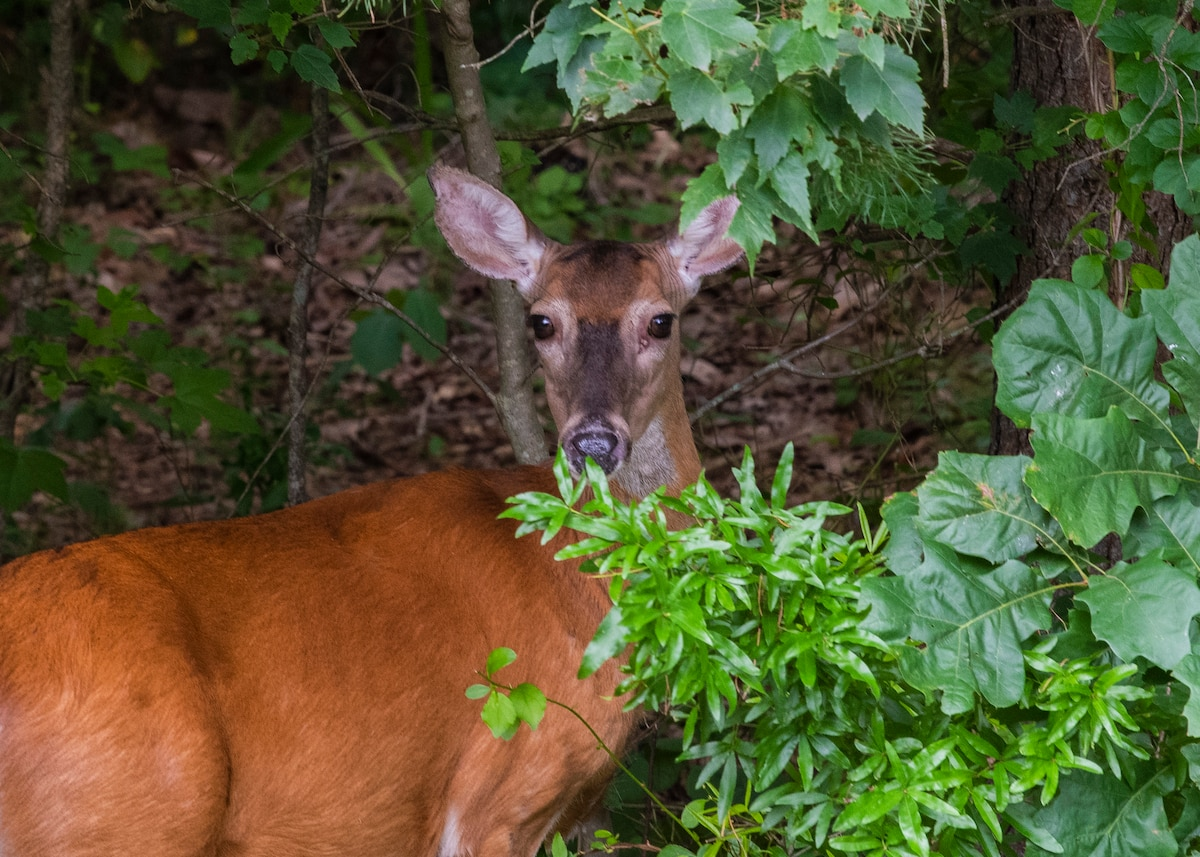 Photograph of a deer in the woods taken using the aperture range f / 11 - 22.