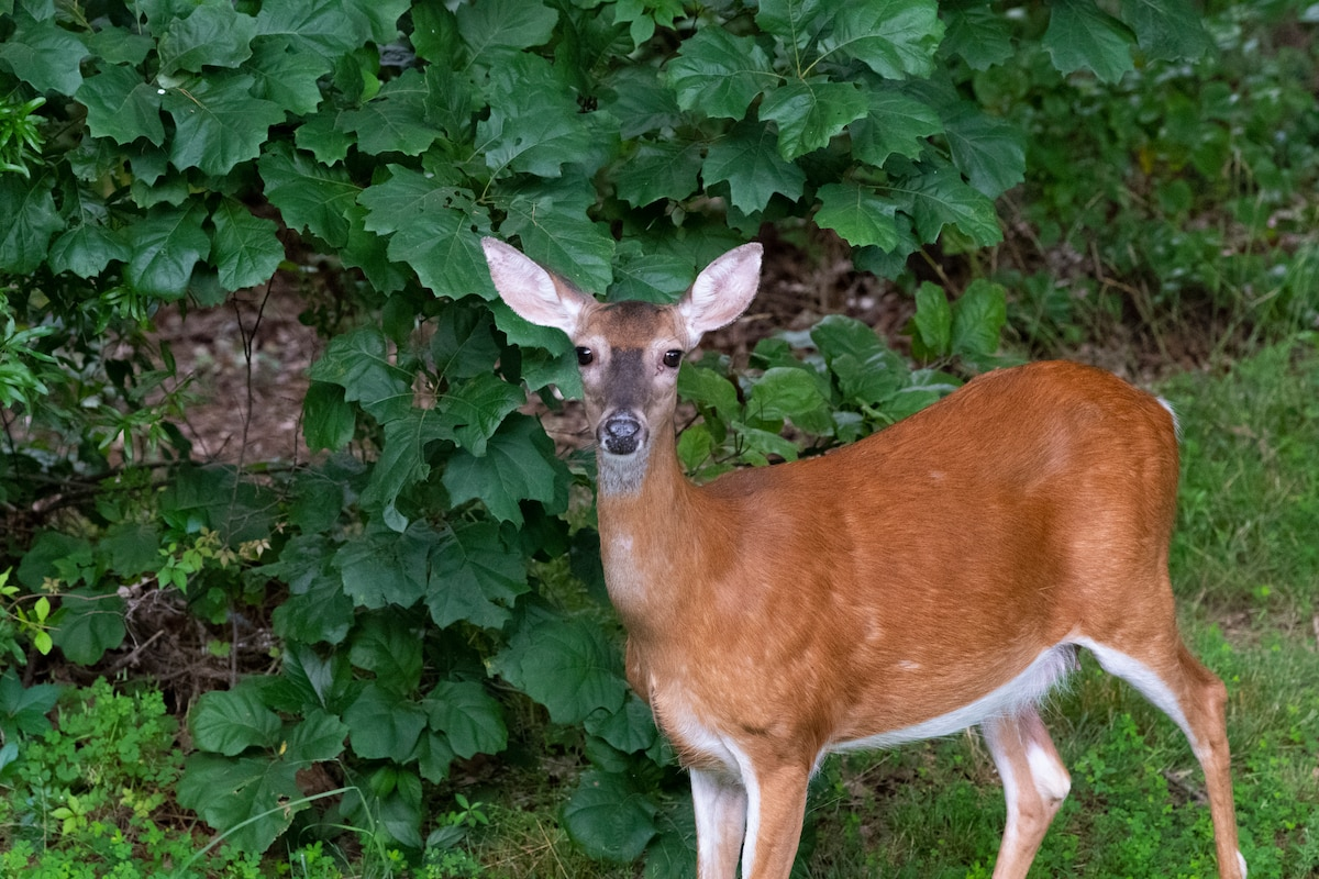 Photograph of a deer in the woods taken using the aperture range f /4 - 5.6.
