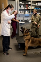 Dr. Joanna Kuecker, a veterinarian assigned to the Whiteman Air Force Base Veterinary Clinic, gives a treat to Military Working Dog Oscar, assigned to the 509th Security Force Squadron, at Whiteman Air Force Base, Missouri, Aug. 7, 2020. Oscar became the newest and youngest MWD for Whiteman AFB after graduating the Military Working Dog Course at Lackland AFB, Texas. Oscar, a two year old Belgian Malinois, arrived to WAFB Aug.7. (U.S. Air Force photo by Airman 1st Class Christina Carter)