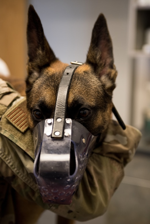 U.S. Air Force Military Working Dog Oscar, assigned to the 509th Security Force Squadron, waits for his veterinarian appointment at Whiteman Air Force Base, Missouri, Aug. 7, 2020. Oscar became the newest and youngest MWD for Whiteman AFB after graduating the Military Working Dog Course at Lackland AFB, Texas. The Veterinary Clinic on base performs health and wellness check-ups for all new MWD arrivals. (U.S. Air Force photo by Airman 1st Class Christina Carter)