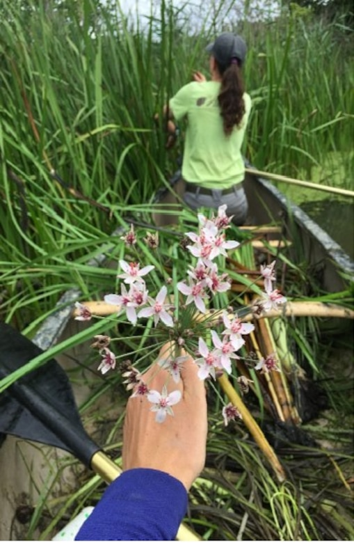 The U.S. Army Corps of Engineers, Buffalo District and the Cleveland Museum of Natural History executed a Project Partnership Agreement, August 10, 2020 to begin a project that will control flowering rush at Mentor Lagoons Nature Preserve and Mentor Marsh State Nature Preserve
