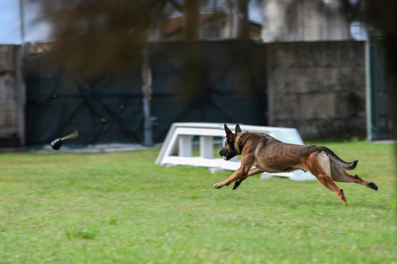 Ben, 31st Security Forces Squadron military working dog, chases a toy at Aviano Air Base, Italy, Aug. 18, 2020. Handlers practice basic obedience with their dogs often as it is part of the dog's foundation. (U.S. Air Force photo by Airman 1st Class Ericka A. Woolever)