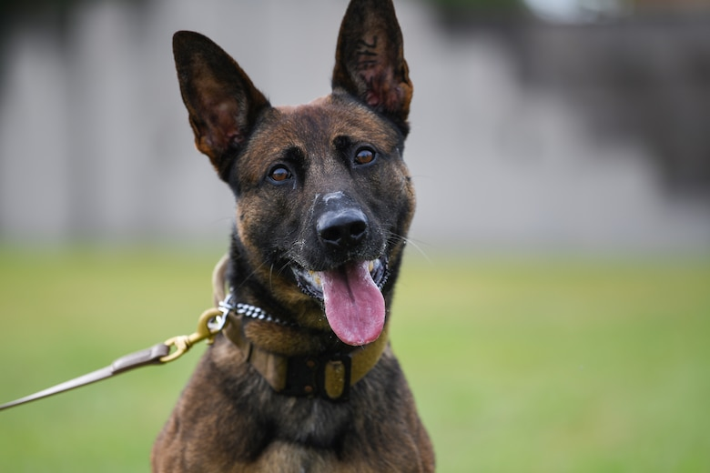 Ben, 31st Security Forces Squadron military working dog, poses for a photo at Aviano Air Base, Italy, Aug. 18, 2020. MWDs provide security, crime prevention patrols, emergency response, and intruder detection. (U.S. Air Force photo by Airman 1st Class Ericka A. Woolever)