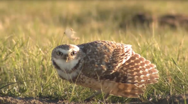 As part of its mission of environmental stewardship, the U.S. Army Corps of Engineers (Corps), Walla Walla district, has been constructing artificial burrow systems in its Habitat Management Units (HMUs), in the hopes of helping burrowing owls better establish themselves in the area around the Tri-Cities, an area where they once were able to thrive.