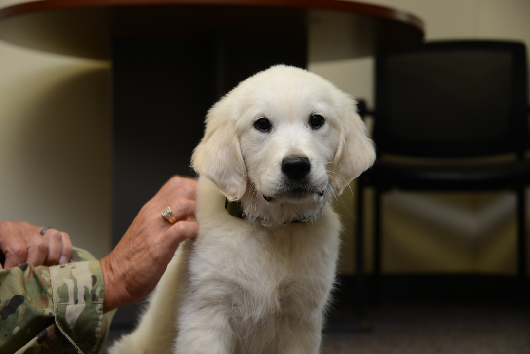 Lincoln, an English Cream Golden Retriever puppy is in training to become a full time therapy dog at the Iowa Air Guard's 185th Air Refueling Wing in Sioux City, Iowa.