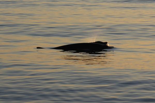 A researcher from the U.S. Navy's Naval Information Warfare Center Pacific, in collaboration with other scientists from the U.S. and Mexico and the Sea Shepherd Conservation Society, have potentially discovered a new beaked whale species off the coast of Baja, Mexico.