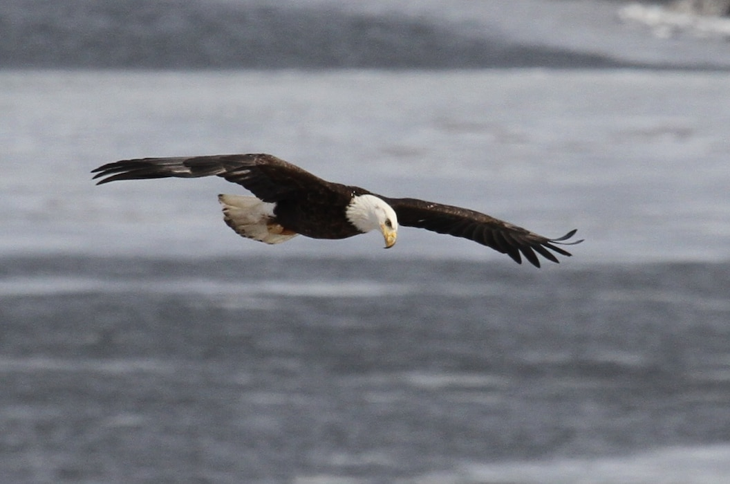 Bald eagles congregate near open water in the later winter months in search of food.