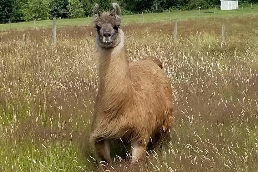 A llama stands in a field of grass.