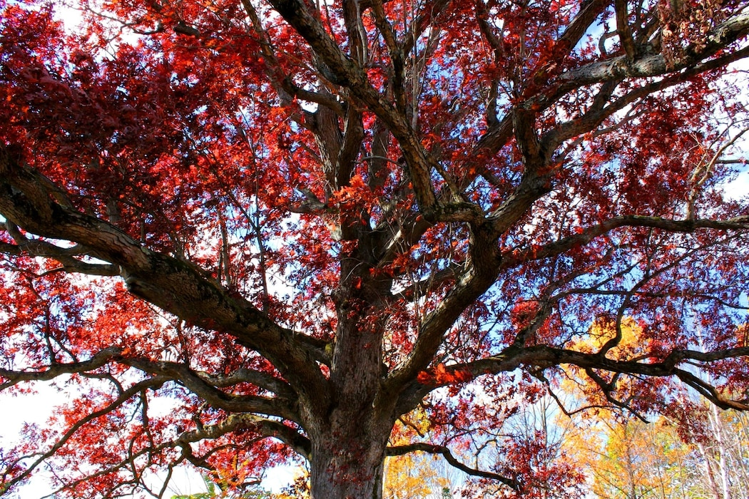 Photo shows an Old Oak Tree with a vibrant red color at Beltzville Dam & Reservoir