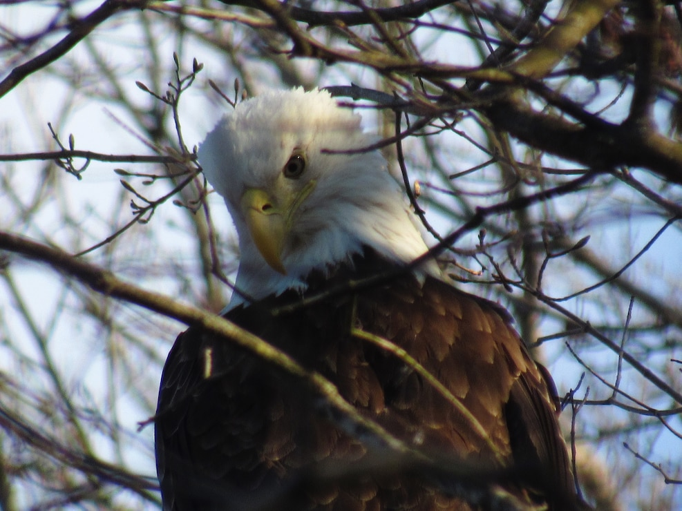 Photo shows a Bald Eagle perched in a tree at Prompton State Park