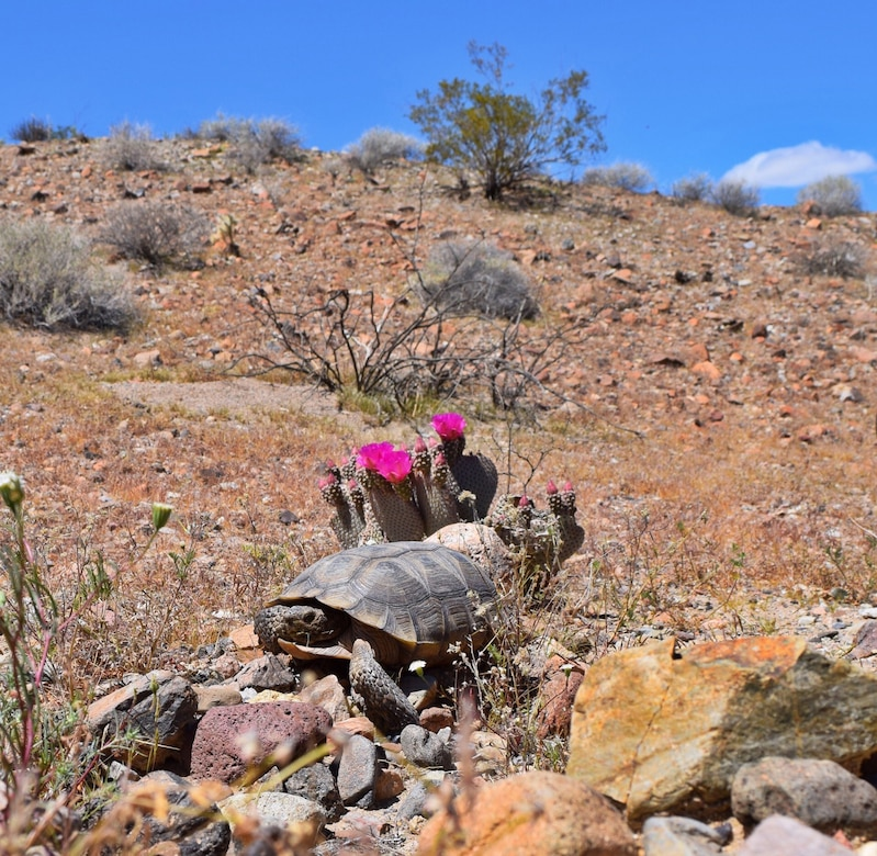 A tortoise rests in the desert in front of a red-flowered plant.