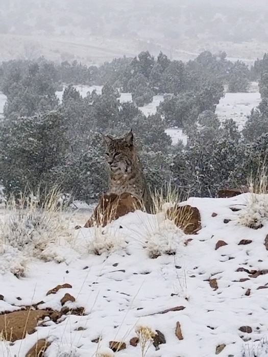 A bobcat poses in the snow at the Abiquiu Lake Cerrito Recreation Area, Jan. 16, 2020. Photo by Noel Paul Vialpando.