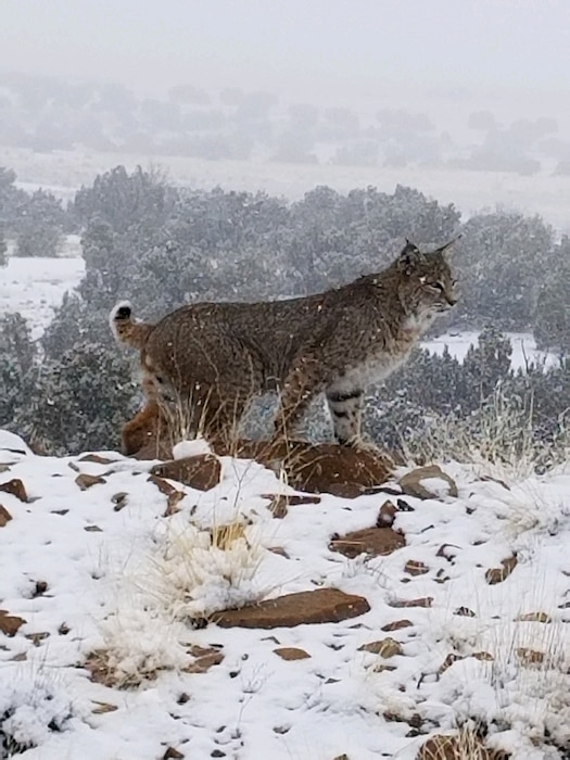 A bobcat stands in the snow at the Abiquiu Lake Cerrito Recreation Area, Jan. 16, 2020. Photo by Noel Vialpando.