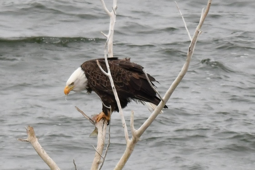 A bald eagle perches in a tree at John Martin Reservoir with a recent catch in its mouth, Feb. 7, 2020. Photo by Laura Nelson.