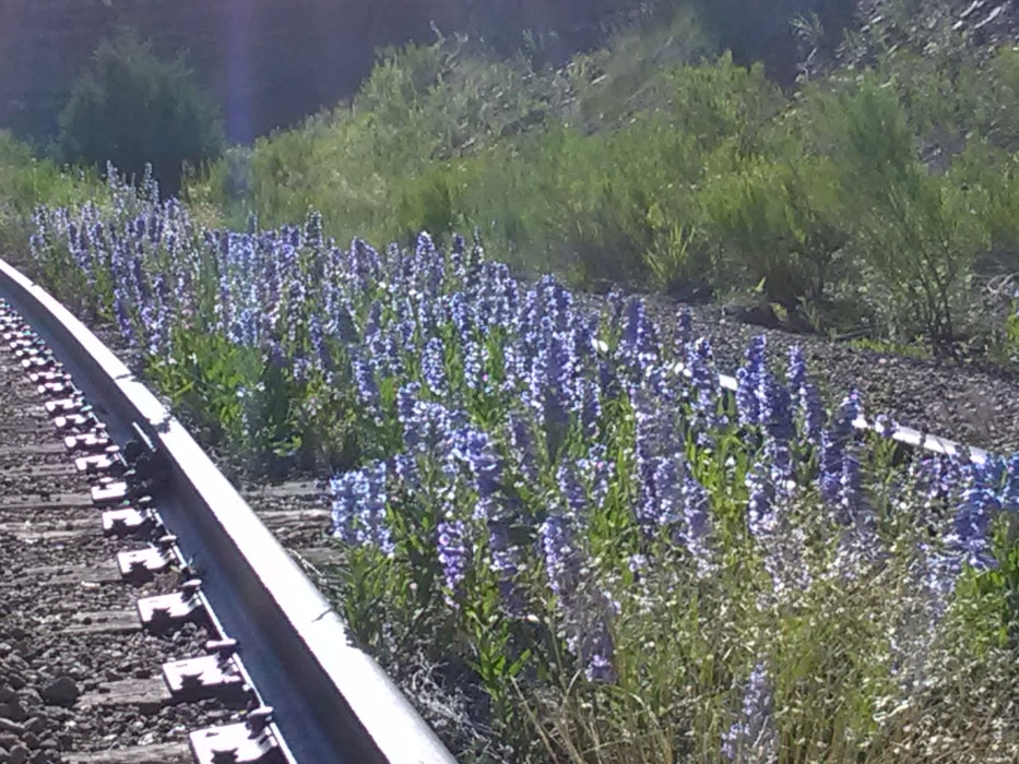 Wildflowers grow by an abandoned railroad track near the Trinidad Dam outlet works, June 1, 2019. Photo by Kim Falen.