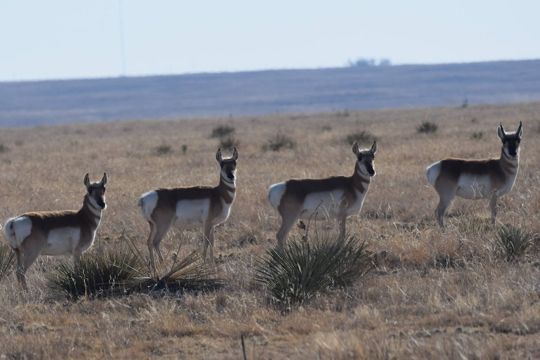 Four pronghorn line up at John Martin Reservoir, Dec. 10, 2019. Photo by Laura Nelson.