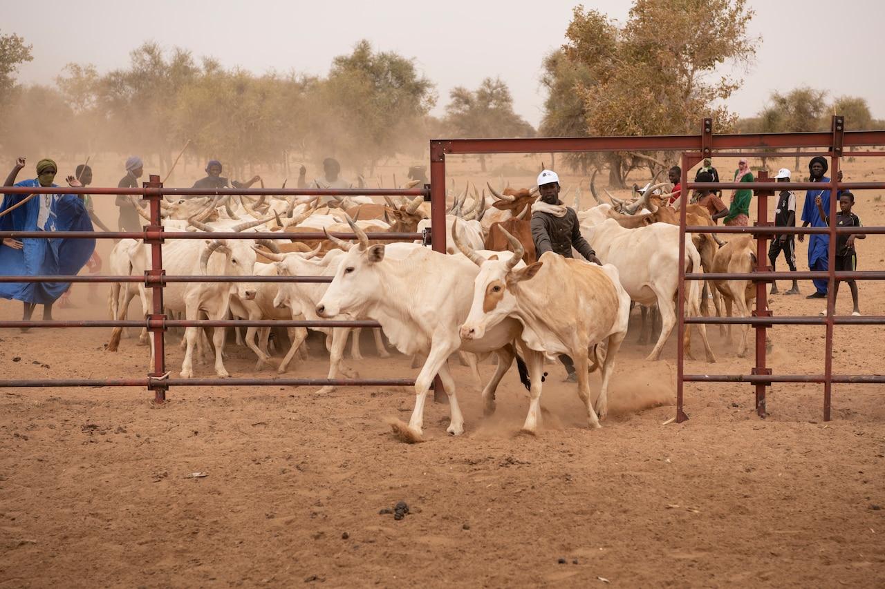 Ranchers herd cattle through an open gate.