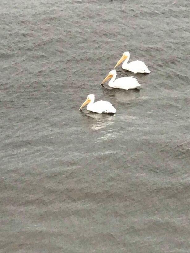 Trio of Snowbirds on Lake Okeechobee - American White Pelicans return to Lake O for the winter