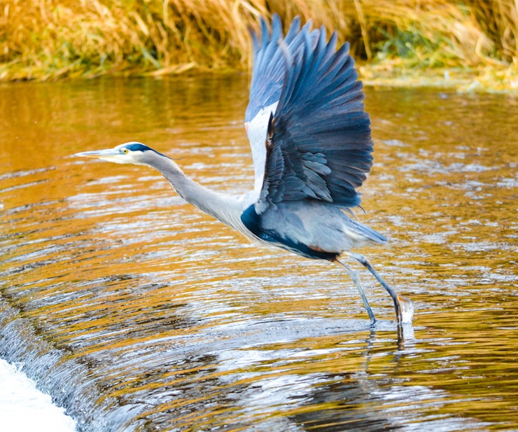 a picture of a great blue heron