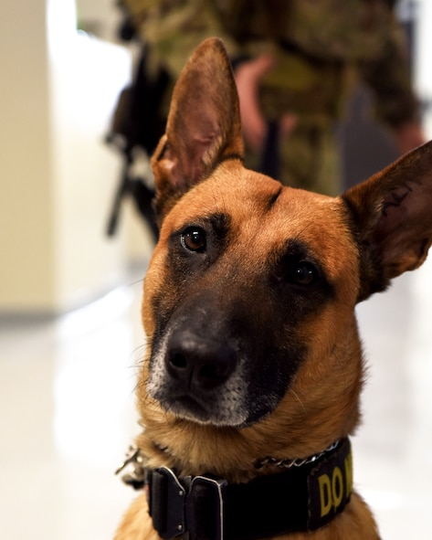 Bico, 319th Security Forces Squadron military working dog, sits in front of Staff Sgt. Carlton Isaacson, 319 SFS MWD handler, in their new K-9 facility at Grand Forks Air Force Base, N.D., Jan. 24, 2020. This new facility is equipped with state-of-the-art equipment to improve the quality of life for the MWD's, which includes heated flooring and upgraded ventilation and sanitation systems. (U.S. Air Force photo by Staff Sgt. Patrick A. Wyatt)