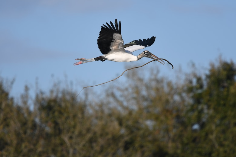 A wood stork flies over south Florida carrying nesting materials.