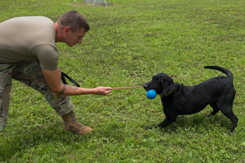 Staff Sgt. Jenings Casey, a military working dog trainer assigned to the 628th Security Forces Squadron, and military working dog Freddie, train outside June 30, 2020 at Joint Base Charleston, S.C. Freddie is a new addition to the military working dog section at JB Charleston and is currently the only Labrador. She is an explosive detector and performs additional tasks that other MWDs at JB Charleston do not such as an extra off-leash capability. She was also trained on three additional explosive odors.