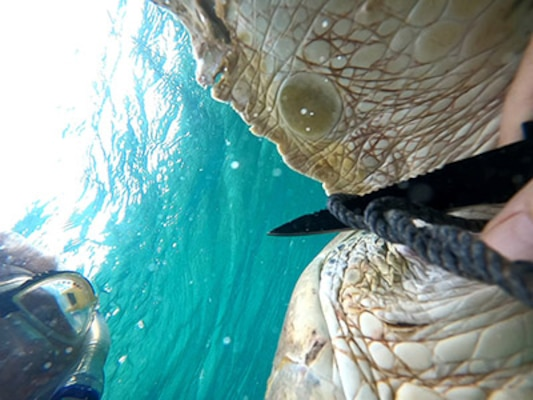 AUTEC personnel save green sea turtle entangled by rope, nets