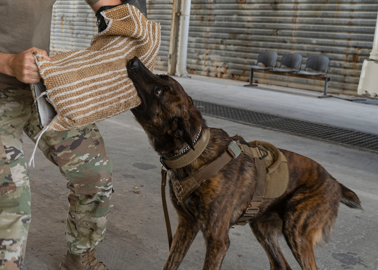 AAslan, 379th Expeditionary Security Forces Squadron military working dog, clenches a bite sleeve at Al Udeid Air Base, Qatar, July 2, 2020. Bite sleeves are used as a training mechanism for the dogs to learn controlled aggression techniques. (U.S. Air Force photo by Senior Airman Olivia Grooms)