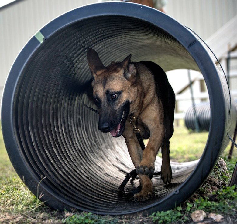 Vanda, a military working dog, or MWD, trainee assigned to the 341st Training Squadron, runs through a tunnel during obedience training Nov. 17, 2016, at Joint Base San Antonio-Lackland. The course is designed to improve agility, reaction time and stamina in the military working dogs as part of their training.