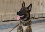 AAslan, 379th Expeditionary Security Forces Squadron military working dog (MWD), awaits a command from his handler at Al Udeid Air Base, Qatar, July 2, 2020. MWDs are trained to detect harmful materials to keep military installations, assets and personnel safe. (U.S. Air Force photo by Senior Airman Olivia Grooms)