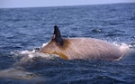 An adult male Cuvier's beaked whale is tagged with a satellite-linked dive recording tag in the Virginia Capes operating area while a research team from Duke University and Southall Environmental Associates track two separate groups of beaked and pilot whales.