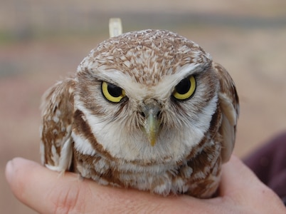 When badgers stopped making tunnels used as nests by burrowing owls at Camp Umatilla, Oregon, in 2008, Don Gillis, the natural resource manager at the Umatilla Chemical Depot, stepped in to help. Twelve years later, the owls are thriving and sharing Camp Umatilla with the National Guard.