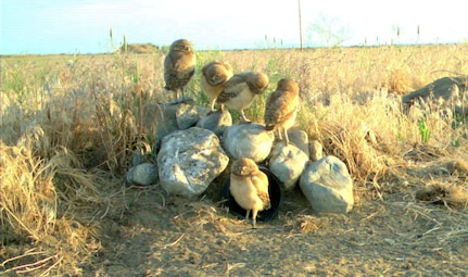 Burrowing owls outside a nest at Camp Umatilla, Oregon, which is used by the National Guard for training.