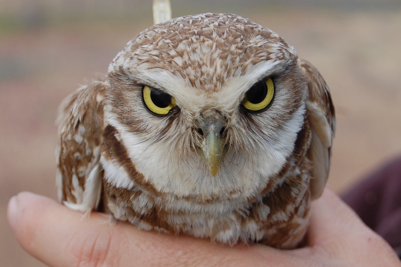 A brown owl with yellow eyes perches on a person's hand.