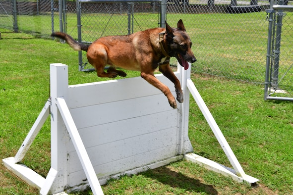 Military Working Dog Alfa, completes the obedience training course at Little Rock Air Force Base.