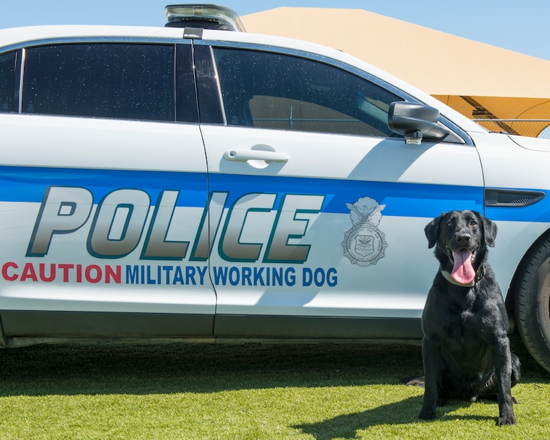 Military working dog Pow, assigned to the 56th Security Forces Squadron, poses for a portrait June 17, 2020, at Luke Air Force Base, Ariz.