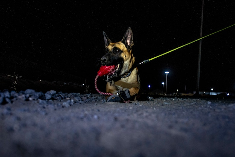 dogs plays with toy between training
